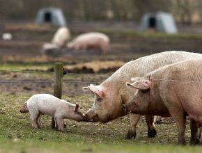 Økologisk gris